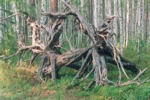 Загадочные сплетения корней деревьев в Тунгусской тайге