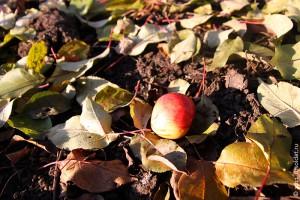 Осеннее яблоко.